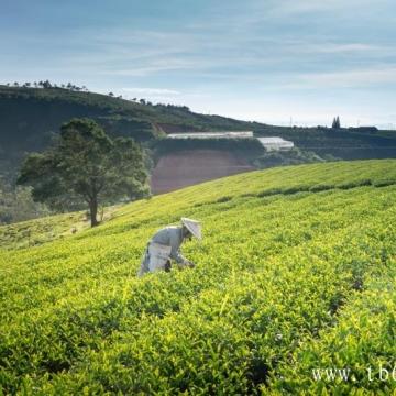 福鼎白茶哪个品类最好喝?为什么