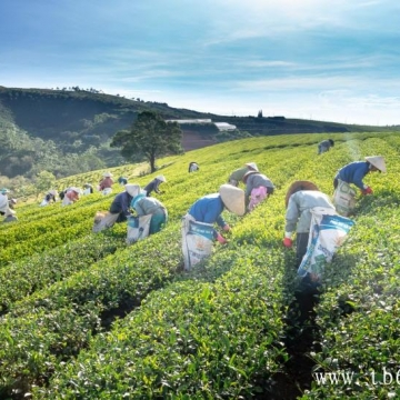 白茶的功效:你最喜欢哪一种?