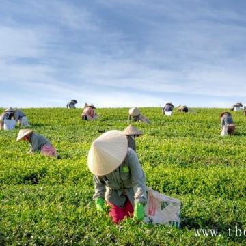 不同种类的白茶价格!白茶的减肥功效对比!