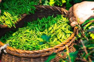 新手常见误区:白茶只有老的好,新白茶不值钱?