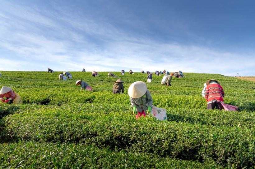 买春白茶别贪早,粗采滥造的茶,根本不能喝!