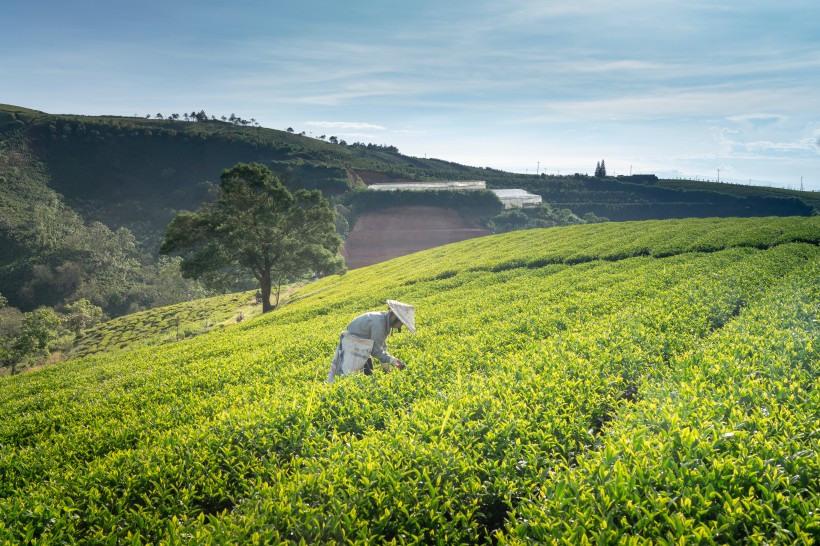 老寿眉是属于发酵茶吗?