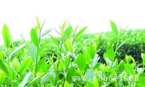 荒野寿眉,是属于什么茶?